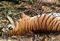 Tigre del Bengala uccisa da una trappola/ Era incinta di due cuccioli: al mondo ne esistono solo 400