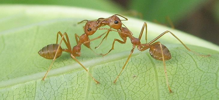 Bacio tra formiche